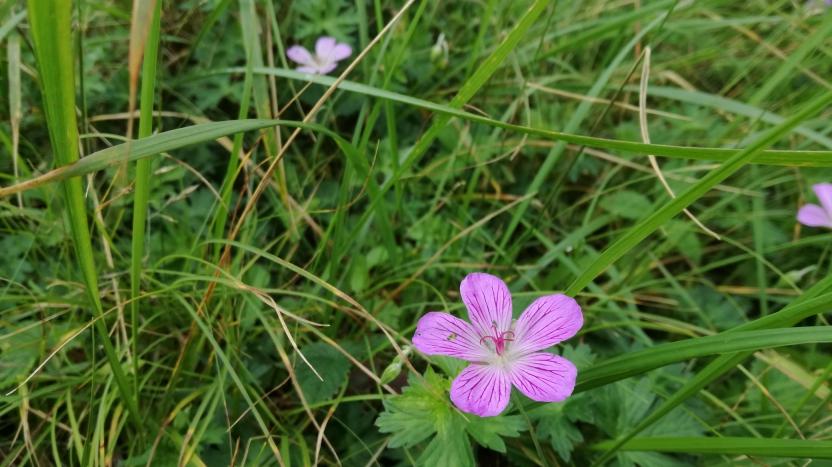 高山に生えるピンクの花の写真