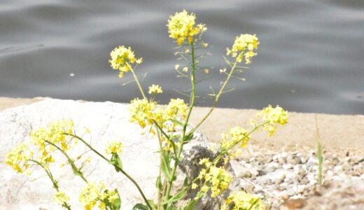 【写真】菜の花1