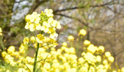 【写真】菜の花2