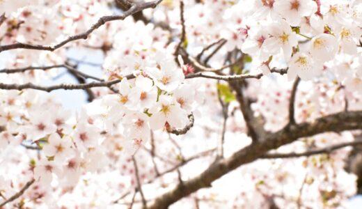 【写真】桜3